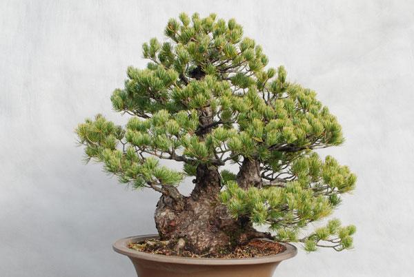 bonsai_001