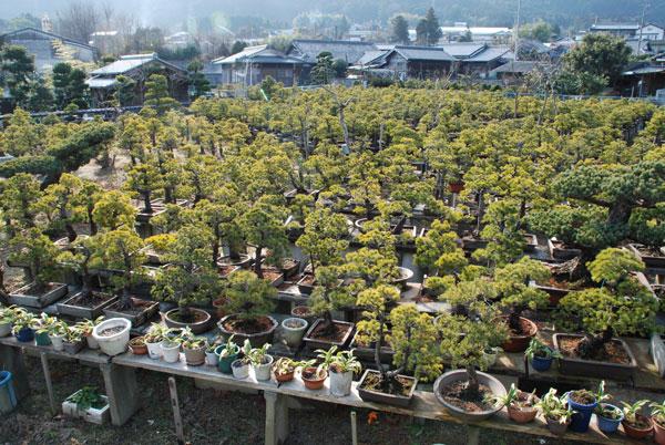 bonsai_002