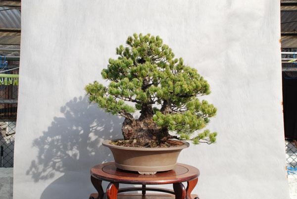 bonsai_003