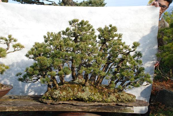 bonsai_004