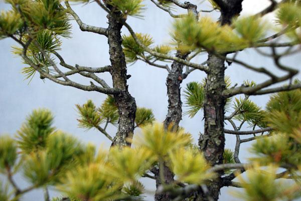 bonsai_005