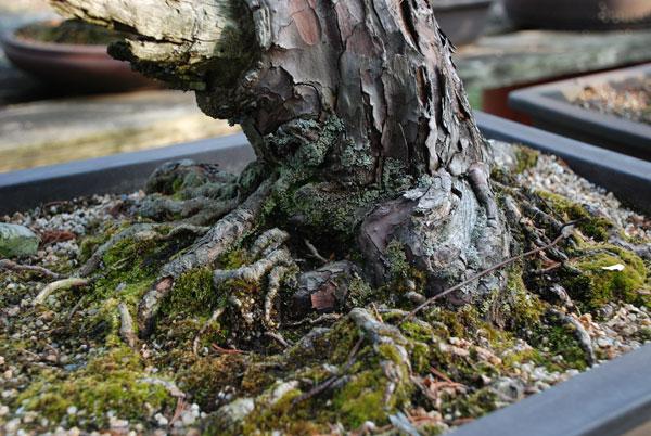 bonsai_007