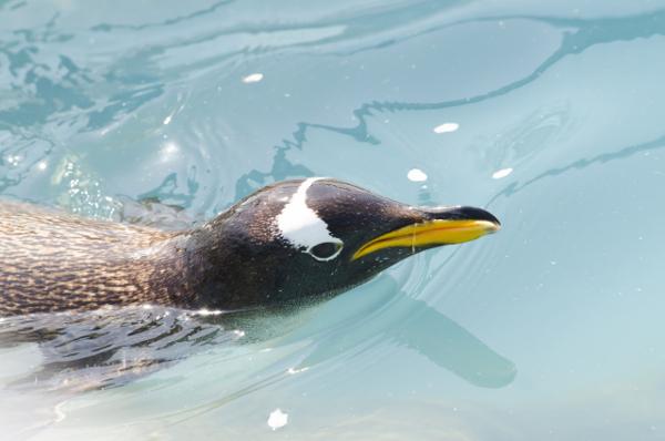 プール,ペンギン